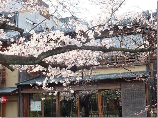 2017京都桜 712
