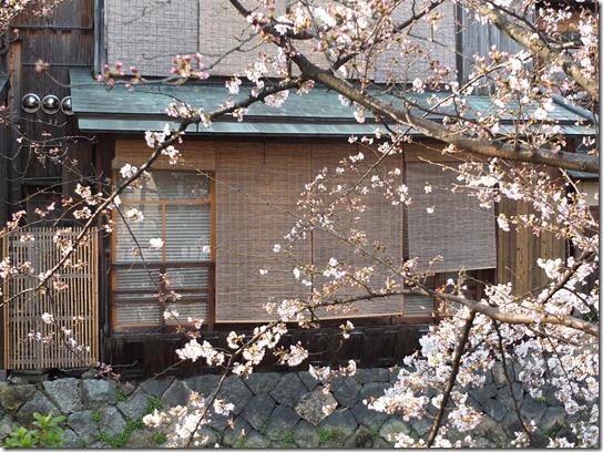2017京都桜 713
