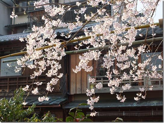 2017京都桜 716