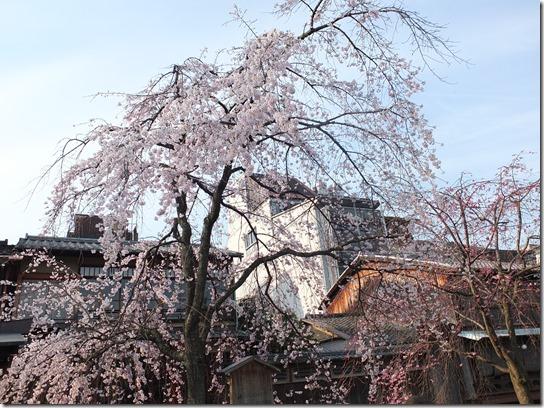 2017京都桜 732