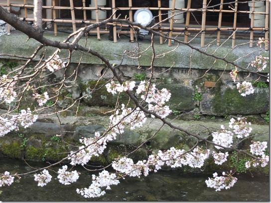 2017京都桜 738