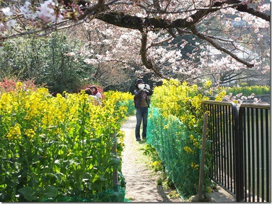 2017京都桜 771