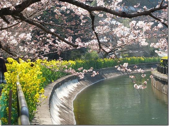 2017京都桜 779