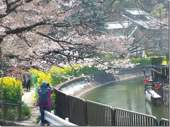 2017京都桜 780