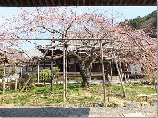 2017京都桜 790