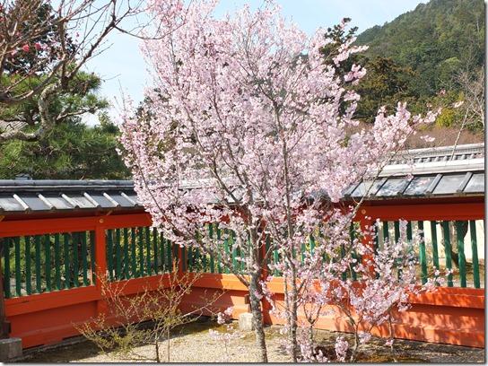 2017京都桜 794