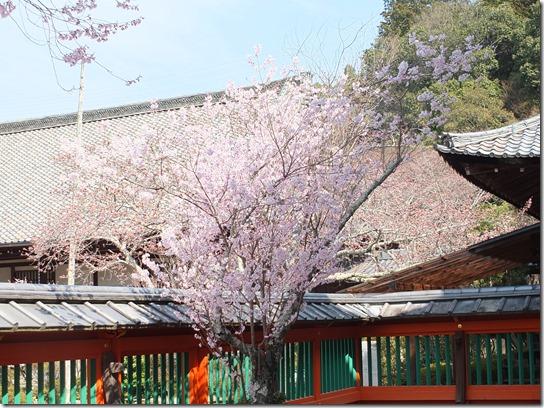 2017京都桜 795