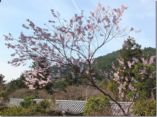 2017京都桜 797