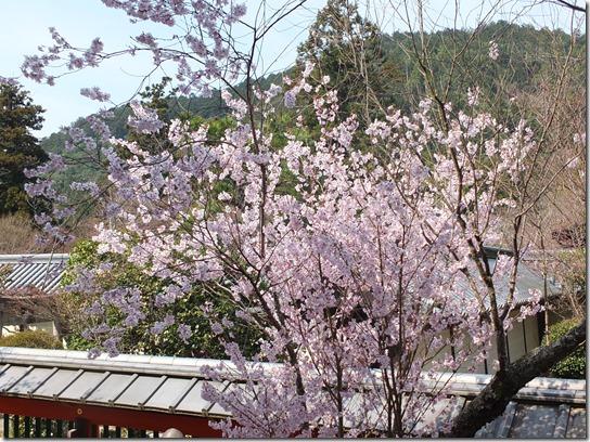 2017京都桜 799
