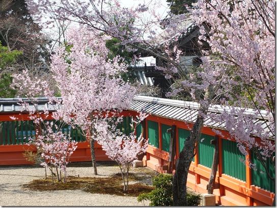2017京都桜 800