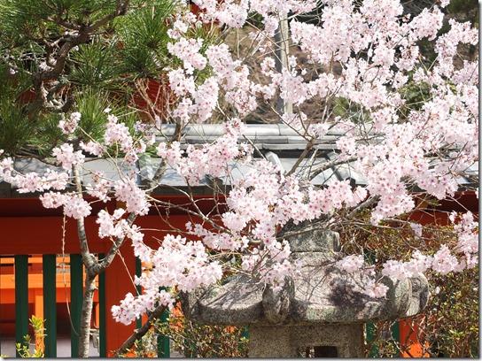 2017京都桜 807