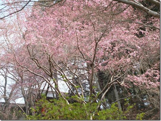 2017京都桜 809