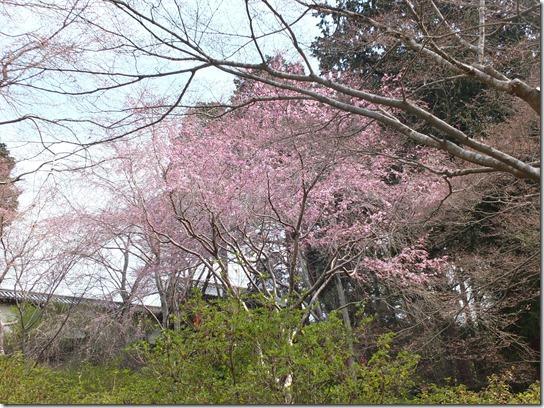 2017京都桜 811