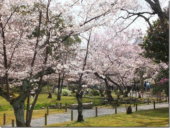 2017京都桜 816