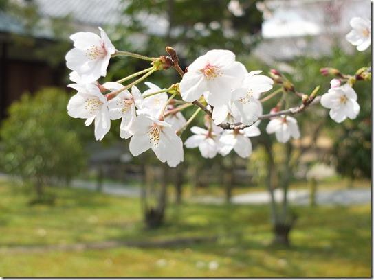 2017京都桜 819