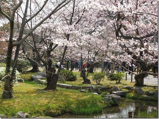 2017京都桜 820