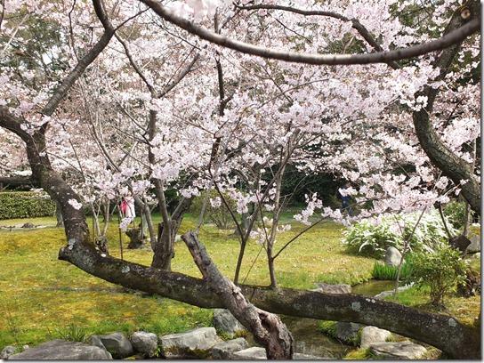 2017京都桜 832