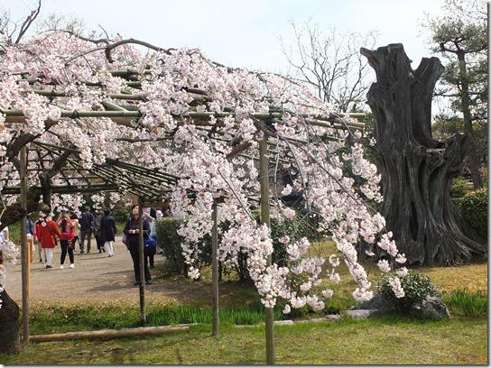 2017京都桜 835