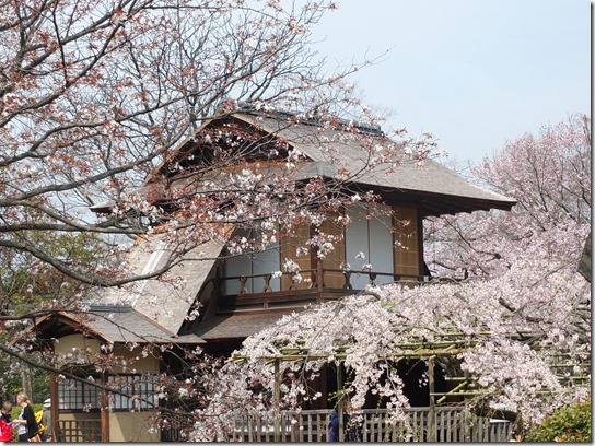 2017京都桜 851