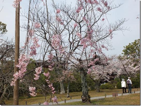 2017京都桜 855