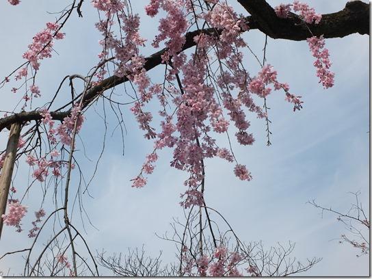 2017京都桜 856