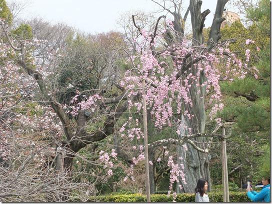 2017京都桜 868