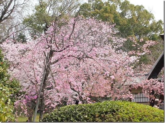 2017京都桜 875