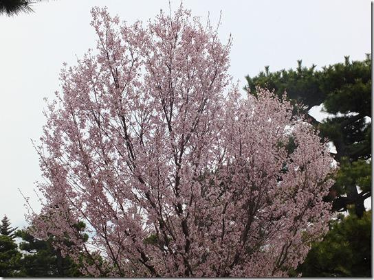 2017京都桜 894
