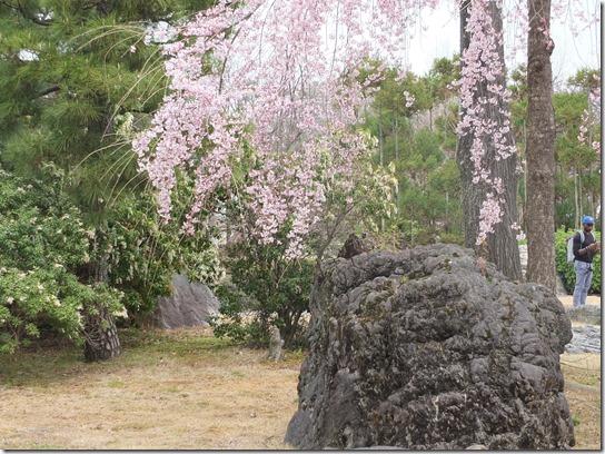 2017京都桜 899