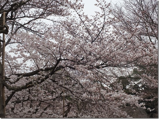 2017京都桜 911