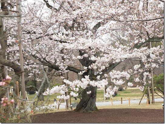 2017京都桜 923
