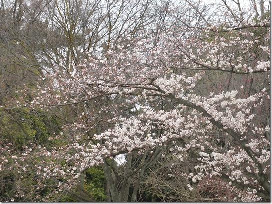 2017京都桜 926