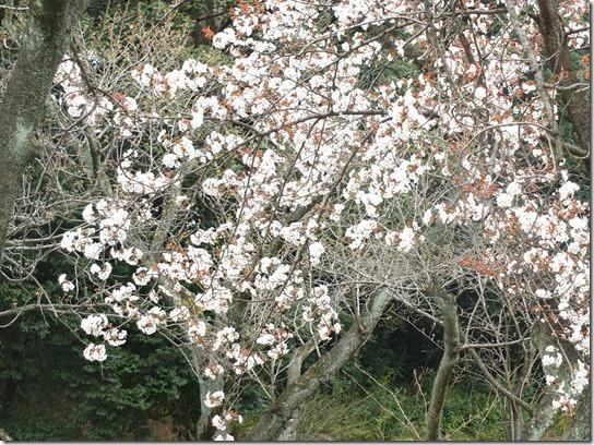 2017京都桜 936