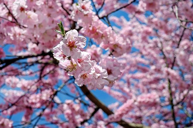 3387皇居外苑お花見散歩