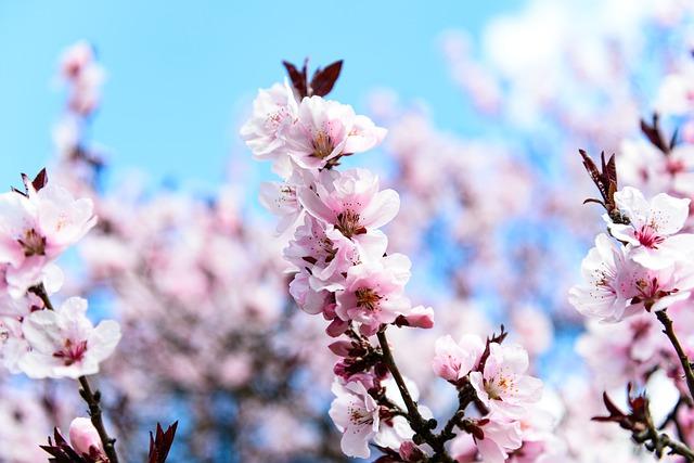 3385京都のお花見人気ランキング第1位!淀川河川公園背割堤地区の桜並木