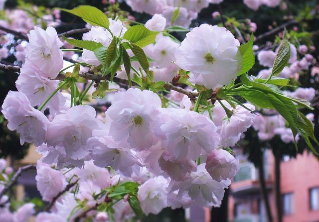 3372京都の遅咲き桜!仁和寺の御室桜と平安神宮神苑の紅枝垂れ桜