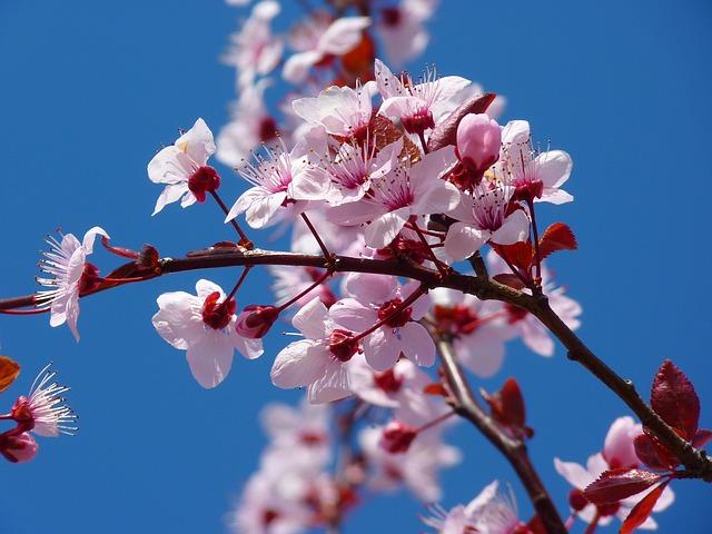 3392 東京のお花見人気ランキング第1位2位 目黒川の桜&新宿御苑の桜