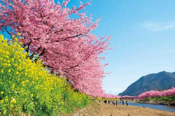 3523河津桜まつりと雛のつるし飾り&伊豆北川温泉つるや吉祥亭1泊2日