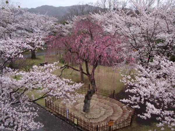 3561小諸城址懐古園の桜&アトリエ・ド・フロマージュのティータイム&海野宿