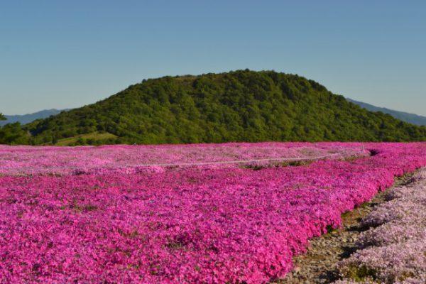 3574茶臼山高原芝桜の丘 南アルプス連邦を望む、天空の花回廊!