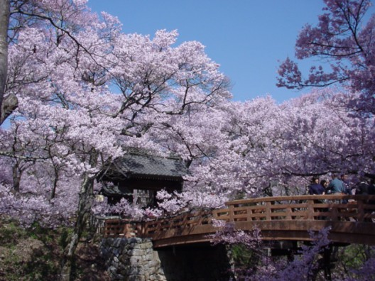 3577高遠城址公園信州伊那高遠さくら祭り【朝桜便】