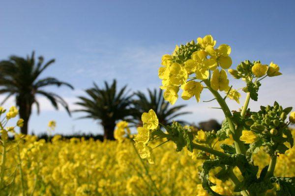 3679 伊良湖岬菜の花ウォーキング