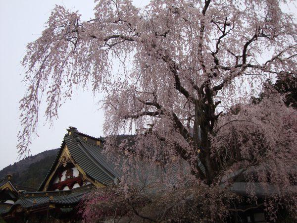 3693身延山久遠寺のしだれ桜と清水港クルーズ&清水寿司食べ放題!