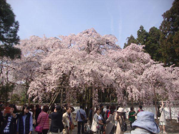 3708豊臣秀吉も愛した京都屈指の桜名所!醍醐寺の桜と平等院