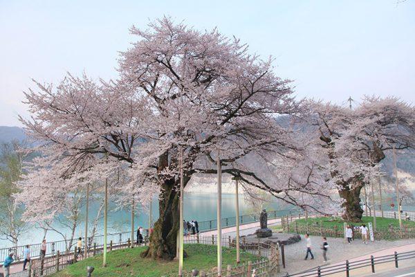 3741樹齢500年の桜に秘められた奇跡の物語!荘川桜と郡上八幡城下町