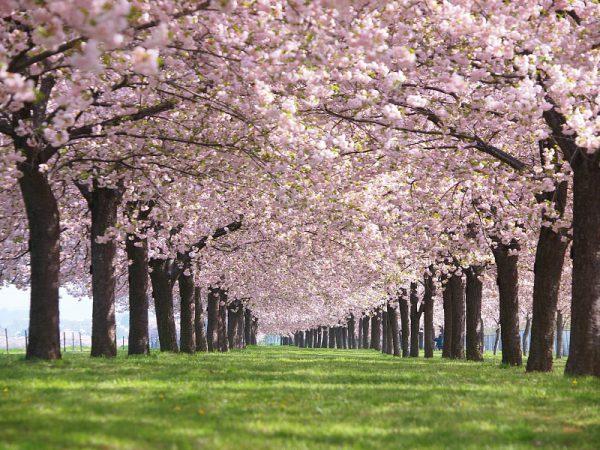 3742千曲川堤防の桜並木&小諸懐古園の八重紅枝垂桜
