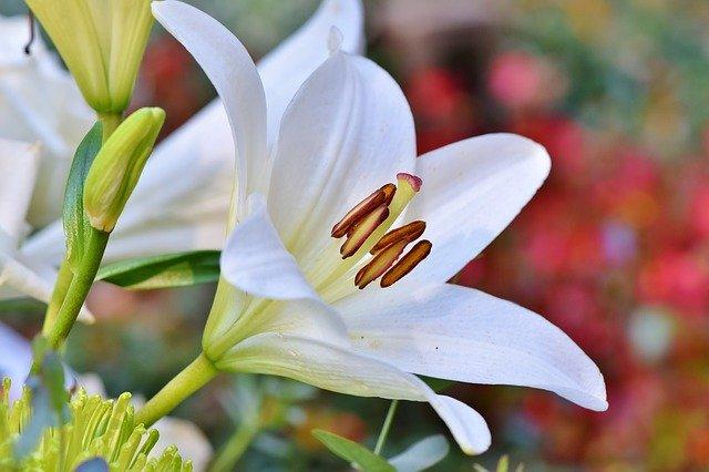 3793遠州初夏の花めぐり!可睡ゆりの園&加茂花菖蒲園