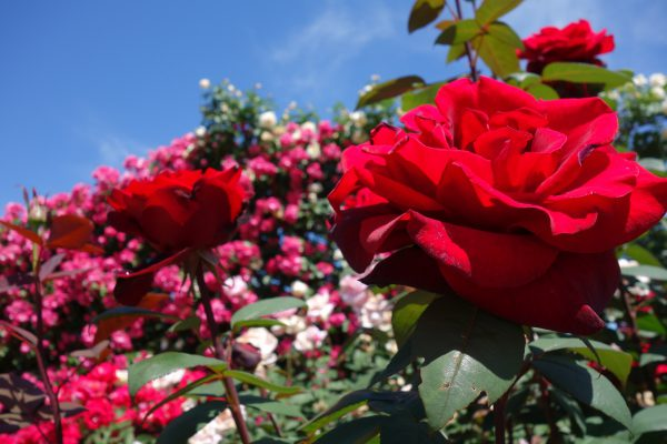 3781 花フェスタ記念公園のバラ&茶臼山高原の芝桜